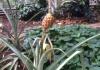 ... Ananas und ...